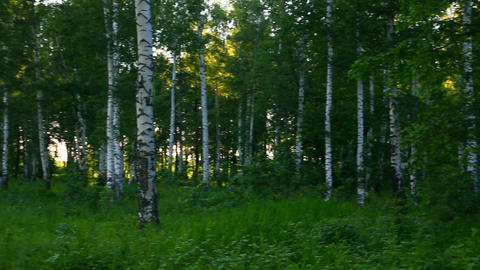 summer birch woods in Russia Stock Video Footage
