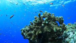 サンゴとハナダイ Footage