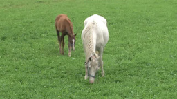 Horse family eating grass Footage