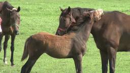 愛情表現する馬の親子 Footage