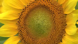 Sunflower Close-up stock footage