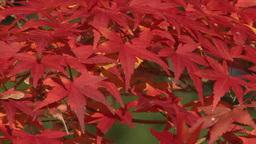 Zoom of autumn leaves Footage