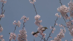 Brown-eared Bulbul and a cherry tree Footage