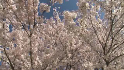 A Yoshino Cherry tree in full bloom Footage