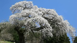 Sotoono weeping cherry blossoms Footage