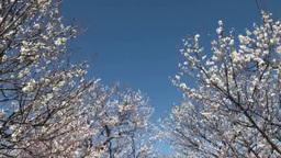 梅林の花と青空 Footage