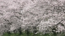 Row of cherry trees in full blossom Footage