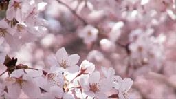 風に揺れる桜のアップ Footage