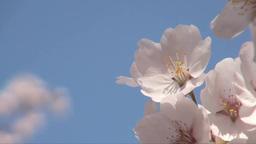 サクラの花びらアップ Footage