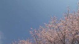 The blues sky and the cherry blossoms scattering Footage
