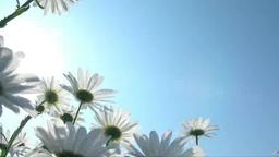 逆光下で風に揺れるマーガレットの花 Footage