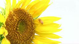 Vast Sunflower Field Footage
