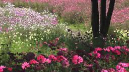 秋風に揺れるコスモスの花々 Footage