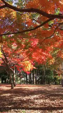 秋風に揺れそよぐ紅葉 タテ映像 영상물
