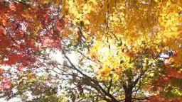 木漏れ日とそよぐ紅葉 Footage