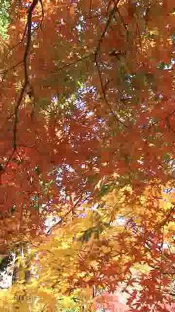 秋風に揺れそよぐ紅葉 タテ映像 Footage