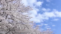 oriental cherry and blue sky Footage