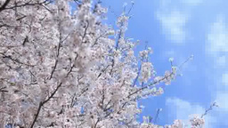 Oriental Cherry And Blue Sky stock footage