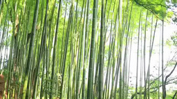 中尊寺の竹林と新緑の紅葉 Footage