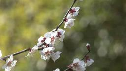 偕楽園の梅の花 Footage