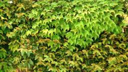 ツタの緑の葉 Footage