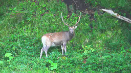 Yezo deer Footage