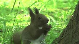Hokkaido squirrel Footage