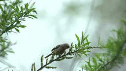 Long-tailed rosefinch Footage
