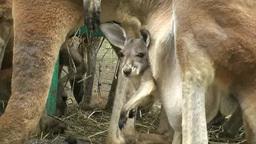 Kangaroo Footage