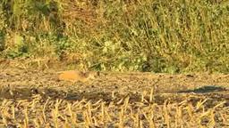 カナダヅル 幼鳥 Footage