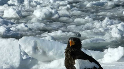 Steller's sea eagle and drifting ice Footage