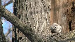 Siberian flying squirrel Footage