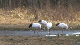 Red-crowned Crane stock footage