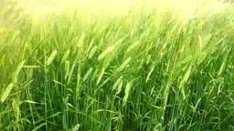 Barley fields Footage