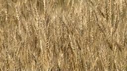 Barley Footage