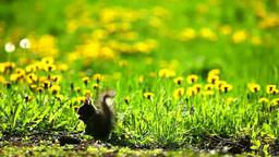 Sciurus squirrel and dandelion flowers Footage