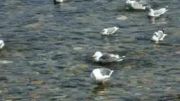 Seagulls Footage
