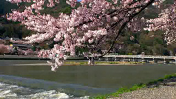 桜と桂川 Footage