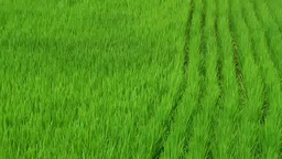 Rice paddy Footage