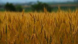 収穫期の大麦畑 Footage
