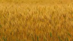 収穫期の小麦畑 Footage