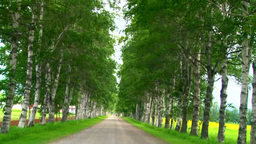 Birch trees Footage