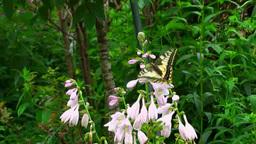 アゲハチョウと花 Footage