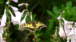 Swallowtail Butterfly Footage