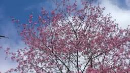 桜と青空 Footage