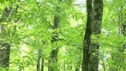 風に揺れる新緑のブナ Footage
