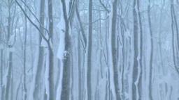 降雪のブナ林 Footage
