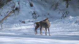 凍る阿寒湖上のエゾシカの親子 Footage