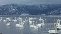 Swan on Lake Kussharo Footage