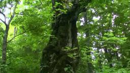 Large beech tree Footage